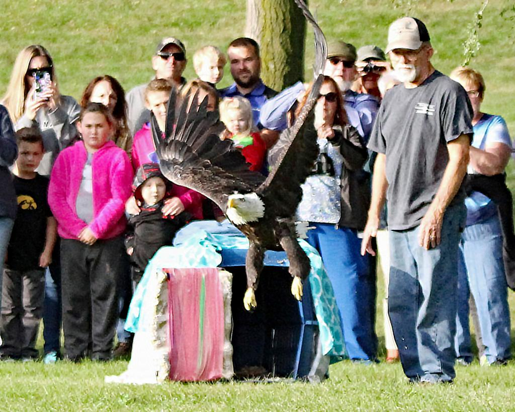 This eagle arrived at SOAR (Saving Our Avian Resources) near Dedham toward the end of August, and has been there since while her bones healed and through rehabilitation of her muscles built back up for flying