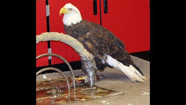 Female eagle Cassie, named for Cass County, NE where she was found